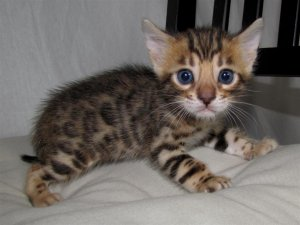 Brown socialized Bengal Kittens -
