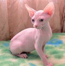 Cute Sphynx cats Looking For New Family