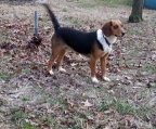 beagles puppies  for sale
