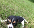 beagle puppy price