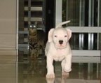 dogo argentino litter, 2 males and 1 female