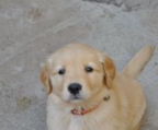Golden retriever litter, males and females