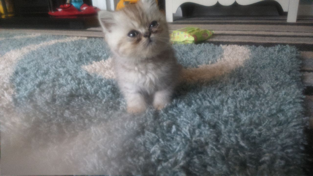 Beautiful Exotic Kittens For Sale