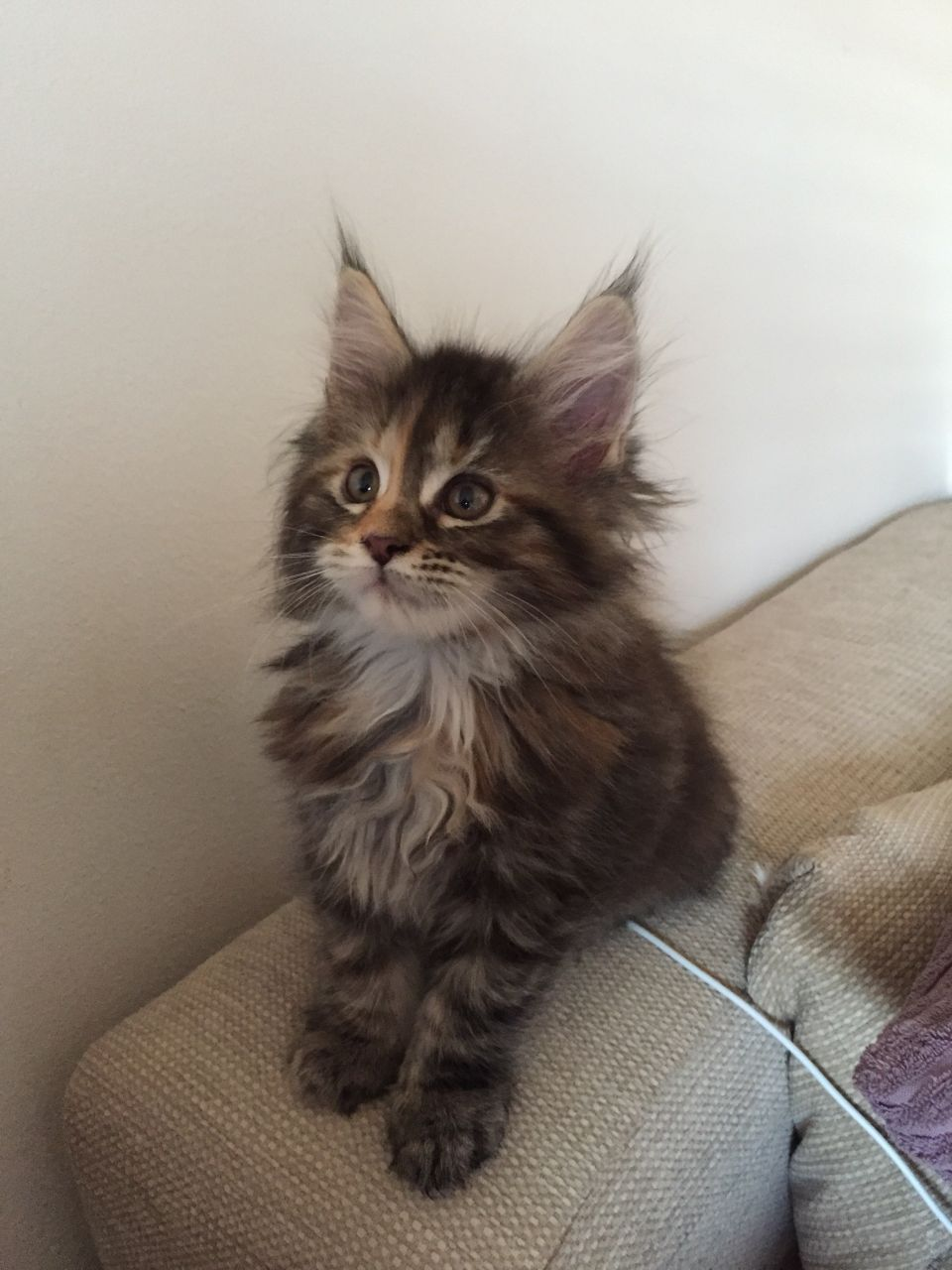 Gorgeous Maine Coon Kittens